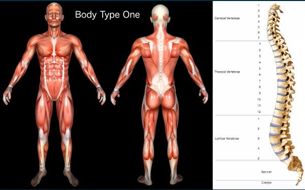 Standard Science/Scientific Human Body Anatomy Book Body Type One (BT1) Diagram/Image