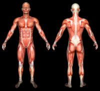 Body Type Shape - Typical Human Body Scientific Anatomy